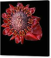 Awapuhi Ko Oko'o - Torch Ginger - Etlingera Elatior - Hawaii Canvas Print