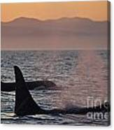 Award Winning Photo Of Two Killer Whales At Sunset Dramatic Silhouette Canvas Print