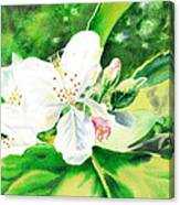 Awesome Apple Blossoms Canvas Print