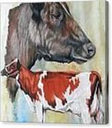 Ayrshire Cattle Canvas Print