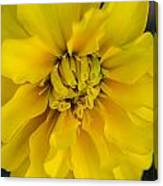 Ayz - A Yellow Zinnia Canvas Print