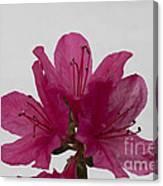 Azalea Rise Canvas Print