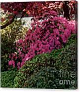 Azaleas And Red Maple Tree Canvas Print