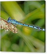 Azure Damselfly  Canvas Print