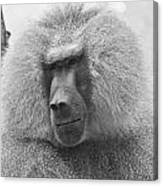 Baboon In Black And White Canvas Print