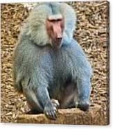 Baboon On A Stump Canvas Print