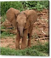 Baby Africa Elephant, Samburu National Canvas Print