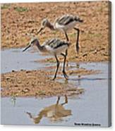 Baby Avocets At Grp Canvas Print