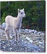 Baby Big Horn Sheep Canvas Print