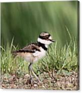 Baby - Bird - Killdeer Canvas Print
