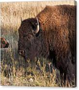Baby Bison Meets Daddy Canvas Print