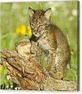 Baby Bobcat At Play Canvas Print