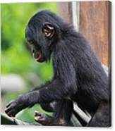 Baby Bonobo Canvas Print