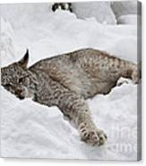 Baby Canadian Lynx Laying In The Snow Canvas Print