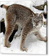 Baby Canadian Lynx Leaving The Winter Den Canvas Print
