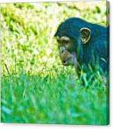 Baby Chimp In The Grass Canvas Print