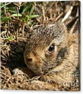 Baby Eastern Cottontail Canvas Print
