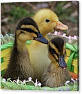 Baby Ducks Canvas Print