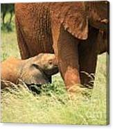 Baby Elephant Feeding Canvas Print