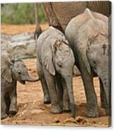 Baby Elephant Trio Canvas Print