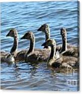 Baby Geese Canvas Print