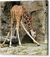Baby Giraffe 1 Canvas Print