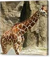 Baby Giraffe 4 Canvas Print