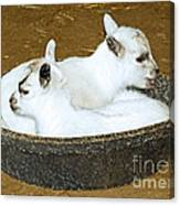 Baby Goats Lying In Food Pan Canvas Print