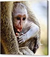 Baby Green Monkey - Barbados Canvas Print