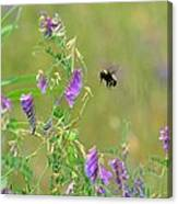 Baby Hummingbird Moth In Flight Canvas Print