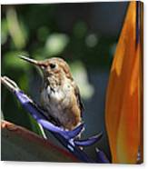 Baby Hummingbird On Flower Canvas Print