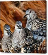 Baby Inca Doves Canvas Print