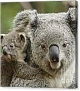 Baby Koala With Mom Canvas Print