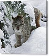 Baby Lynx Hiding In A Snowy Pine Forest Canvas Print