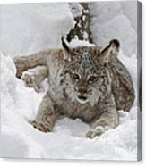 Baby Lynx In A Winter Snow Storm Canvas Print