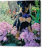 Baby Min Pin In The Phlox Canvas Print