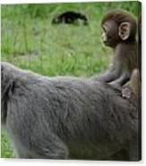 Baby Monkey  Canvas Print