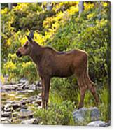 Baby Moose Baxter State Park Canvas Print