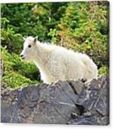 Baby Mountain Goat Canvas Print