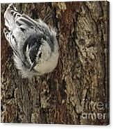 Baby Nuthatch Canvas Print