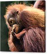 Baby Orangutan Borneo Canvas Print
