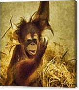 Baby Orangutan At The Denver Zoo Canvas Print