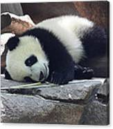Baby Panda Canvas Print