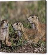 Baby Prairie Dogs Canvas Print