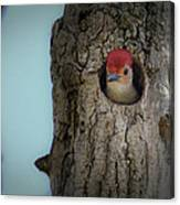 Baby Red Bellied Woodpecker Canvas Print
