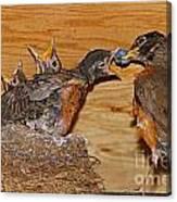 Baby Robins Feeding  An5141-14 Canvas Print
