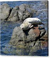 Baby Sea Lion On Rock At San Juan Island Canvas Print