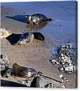 Baby Seals Canvas Print