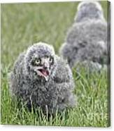 Baby Snowy Owls Canvas Print