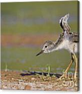 Baby Stilt Stretching Its Wings Canvas Print